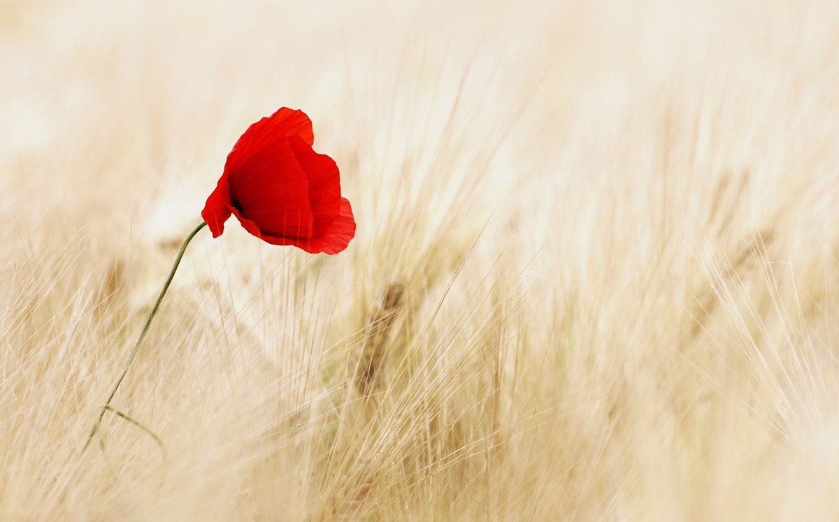 A Single Poppy in a field.