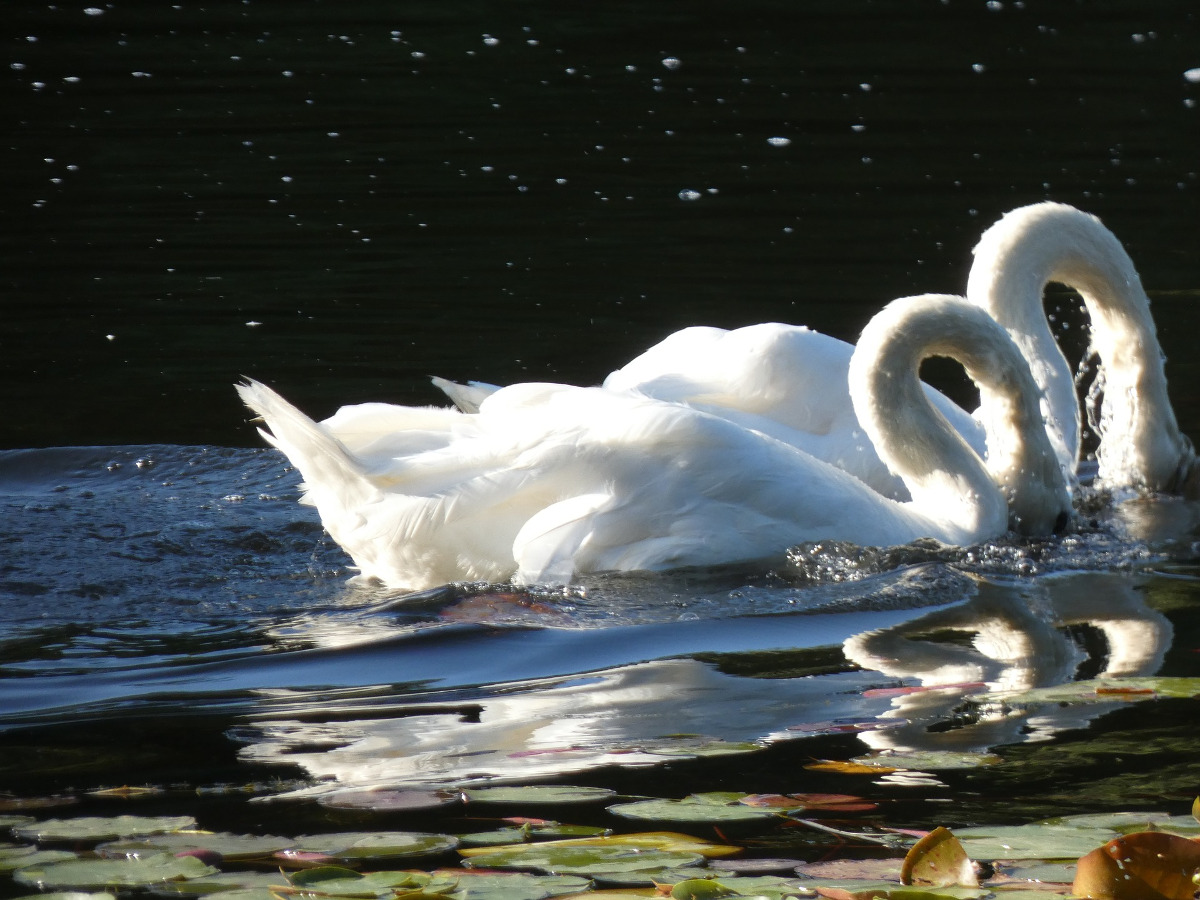 A couple of swans swimming together with their heads underwater.